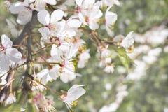 A árvore de ameixa de florescência do close up brota o espaço da cópia Foto de Stock Royalty Free