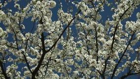 Árvore de ameixa de florescência com flores brancas em um dia ensolarado contra um céu azul filme