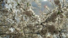 Árvore de ameixa de florescência com flores brancas em um dia ensolarado contra um céu azul video estoque