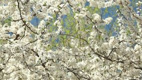 Árvore de ameixa de florescência com flores brancas em um dia ensolarado contra um céu azul vídeos de arquivo