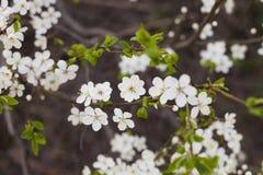 Árvore de ameixa de florescência da cereja no dia de mola foto de stock