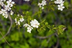Árvore de ameixa de florescência da cereja no dia de mola fotos de stock royalty free