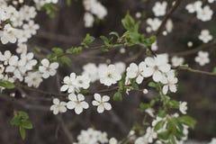 Árvore de ameixa de florescência da cereja no dia de mola, cores pastel imagem de stock royalty free