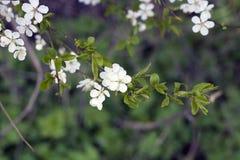 Árvore de ameixa de florescência da cereja no dia de mola, cores pastel foto de stock