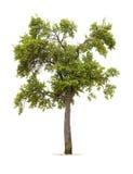 Árvore de ameixa isolada Imagens de Stock