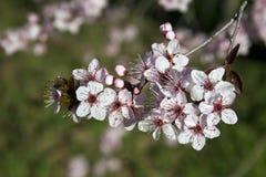 Florescência da árvore de ameixa japonesa Fotos de Stock Royalty Free