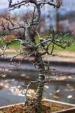 Árvore de ameixa, mume foto de stock