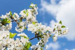 Árvore de ameixa na flor fotos de stock royalty free