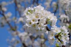 Árvore de ameixa na flor completa -1 Fotografia de Stock