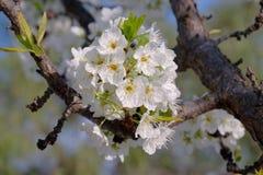 Árvore de ameixa na flor completa -2 Fotografia de Stock Royalty Free