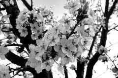 Árvore de ameixa na flor completa em preto e branco Imagem de Stock