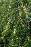 Árvore de Amla Fotografia de Stock Royalty Free