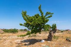 Árvore de amoreira bonita velha só fotos de stock