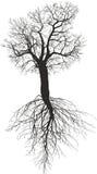 Árvore de amoreira sem as folhas com raiz Imagens de Stock Royalty Free