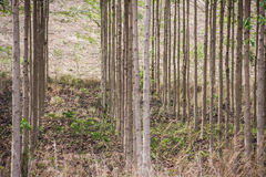 Árvore de Anthocephalus chinensis Imagem de Stock Royalty Free