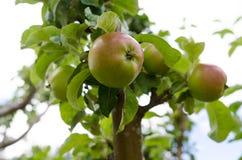 Árvore de Appel imagem de stock royalty free