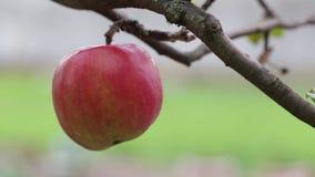 Árvore de Apple video estoque