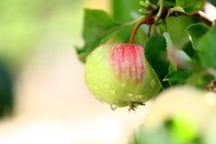 Árvore de Apple Imagens de Stock