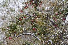 Árvore de Apple Foto de Stock Royalty Free