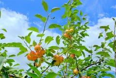 Árvore de Apple Fotos de Stock Royalty Free