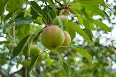 Árvore de Apple Fotografia de Stock Royalty Free