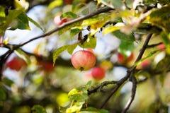 Árvore de Apple imagens de stock royalty free