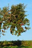 Árvore de Apple carregada fotos de stock
