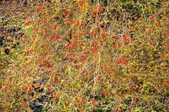 Árvore de Apple com frutas vermelhas Imagens de Stock Royalty Free