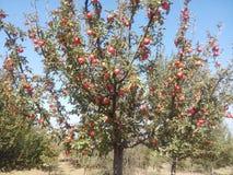 Árvore de Apple com maçãs Fotografia de Stock