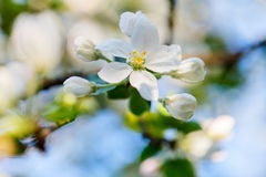 Árvore de Apple de florescência Fotos de Stock Royalty Free