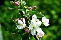 Árvore de Apple de florescência Fotografia de Stock