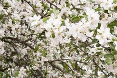 Árvore de Apple de florescência Imagens de Stock Royalty Free