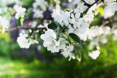Árvore de Apple de florescência Fotos de Stock