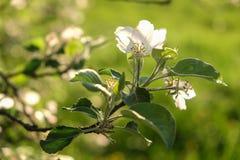 Árvore de Apple de florescência Imagem de Stock Royalty Free