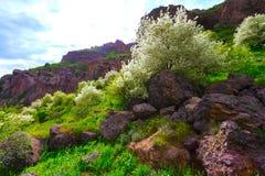 Árvore de Apple de florescência nas montanhas de Armênia Imagem de Stock Royalty Free