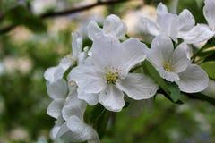 Árvore de Apple fechada fotografia de stock royalty free