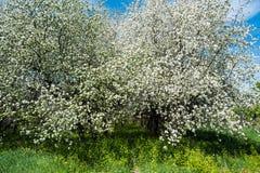 Árvore de Apple de florescência Foto de Stock