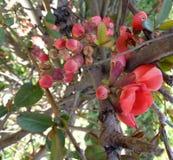 A árvore de Apple floresce - o purpurea do Malus no jardim no fundo natural Foto de Stock