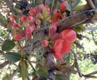 A árvore de Apple floresce - o purpurea do Malus no jardim no fundo natural Fotografia de Stock Royalty Free