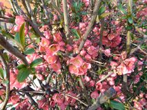 A árvore de Apple floresce - o purpurea do Malus no jardim no fundo natural Imagem de Stock