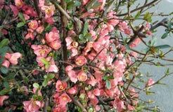 A árvore de Apple floresce - purpurea do Malus - no jardim no fundo natural Fotografia de Stock