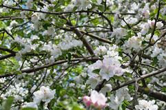 Árvore de Apple na flor Fotografia de Stock