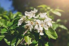 Árvore de Apple na flor, fundo da natureza da mola Imagens de Stock