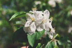 Árvore de Apple na flor, fundo da natureza da mola Fotografia de Stock