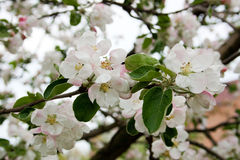 Árvore de Apple na flor na mola Fotos de Stock Royalty Free