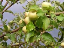 Árvore de Apple na tempestade Imagens de Stock Royalty Free