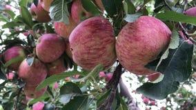 Árvore de Apple no jardim da maçã vídeos de arquivo