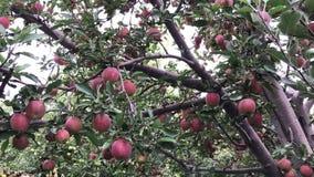 Árvore de Apple no jardim da maçã video estoque