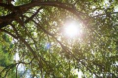 Árvore de Apple no verão Fotos de Stock