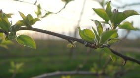 A árvore de Apple planta o verão video estoque